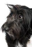blandad spitz för avelhund Arkivbilder