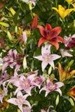 Blandade asiatiska liljor Royaltyfri Foto