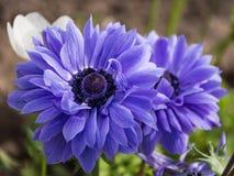 Blandade botaniska trädgårdar Balchik, Bulgarien för Violet Anemone Coronaria `-St Briged Arkivfoton