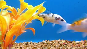 Blandade Koi Fish
