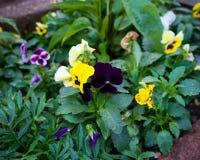 Blandade pansies i arbeta i trädgården rabatt i trädgård arkivfoton