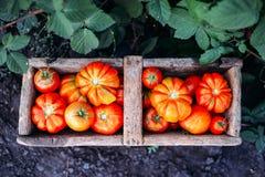 Blandade tomater i bruna pappers- påsar Olika tomater i bunke Royaltyfria Bilder
