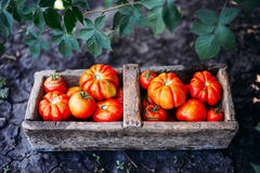 Blandade tomater i bruna pappers- påsar Olika tomater i bunke arkivbild