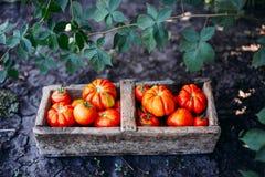 Blandade tomater i bruna pappers- påsar Olika tomater i bunke royaltyfri fotografi