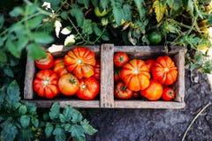 Blandade tomater i bruna pappers- påsar Olika tomater i bunke royaltyfri bild