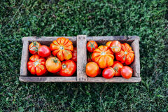 Blandade tomater i bruna pappers- påsar Olika tomater i bunke royaltyfri foto