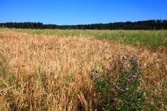 Blandat kornfält med vildblomman Fotografering för Bildbyråer