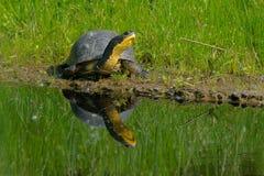 Free Blanding`s Turtle - Emydoidea Blandingii Stock Photo - 120021070