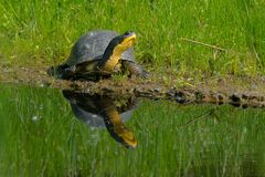 Blanding`s Turtle - Emydoidea blandingii. Blanding`s Turtle basking in the sun on a floating, man made island in a pond. Don Valley Brickworks Park, Toronto Stock Photo