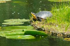 Blanding`s Turtle - Emydoidea blandingii. Blanding`s Turtle basking in the sun on a floating, man made island in a pond. Don Valley Brickworks Park, Toronto Stock Photos