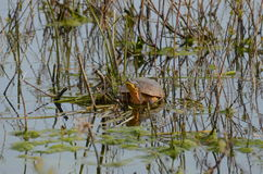 Blanding`s Turtle, endangered species in swamp. Blanding`s Turtle, an endangered species in a swamp near Point Pelee, Ontario, Canada Royalty Free Stock Photography