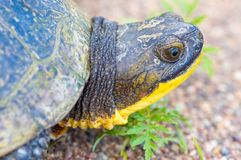 Free Blanding`s Turtle Portrait On A Gravel Rural Road In The Crex Meadows Wildlife Area In Northern Wisconsin Stock Images - 149903074