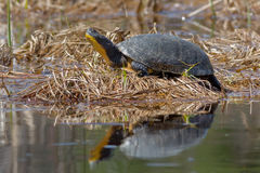 Blanding's Turtle Stock Images