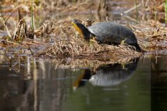 Blanding`s Turtle. Blanding's Turtle sunning at the edge of the water. Carden Alvar Provincial Park, Kawartha Lakes, Ontario, Canada Stock Image