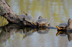 Blanding`s Turtles, endangered species in swamp. Blanding`s Turtles, an endangered species in a swamp near Point Pelee, Ontario, Canada Stock Photography