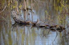 Blanding`s Turtles, endangered species in swamp. Blanding`s Turtles, an endangered species in a swamp near Point Pelee, Ontario, Canada Stock Images