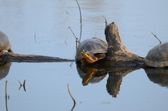 Blanding`s Turtles, endangered species in swamp. Blanding`s Turtles, an endangered species in a swamp near Point Pelee, Ontario, Canada Stock Photos