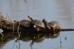 Blanding`s Turtles, endangered species in swamp. Blanding`s Turtles, an endangered species in a swamp near Point Pelee, Ontario, Canada Royalty Free Stock Image