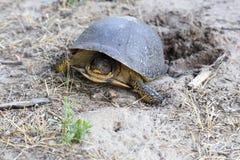 Blanding& x27; tartaruga di s Fotografia Stock Libera da Diritti
