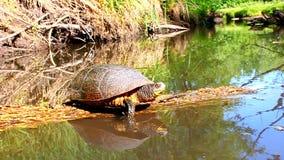 Blandings żółw Wygrzewa się Illinois zbiory wideo
