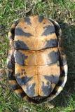 Blandings Schildkröte Plastron Lizenzfreies Stockfoto