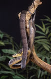 Blandings tree snake Stock Images