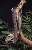 Blandings tree snake. Blandins tree snake curled in dead tree Stock Images