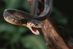 Blandings tree snake Stock Photo