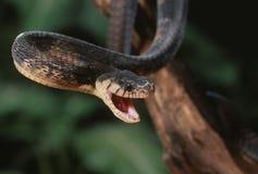 Blandings tree snake Stock Photo