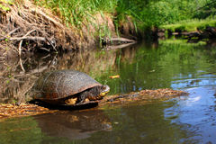 Blandings Turtle Basking on Log. Blandings Turtle basking on a log in a pristine stream of northern Illinois Royalty Free Stock Photos