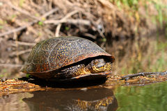 Blandings Turtle Basking on Log Stock Images