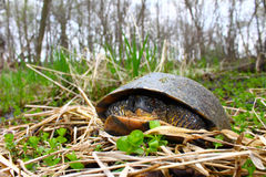Blandings Turtle (Emydoidea blandingii) Stock Photos