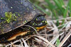 Blandings Turtle (Emydoidea blandingii) Royalty Free Stock Photos