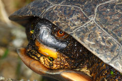 Blandings Turtle (Emydoidea blandingii) Royalty Free Stock Photo
