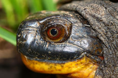 Blandings Turtle (Emydoidea blandingii) Stock Photo