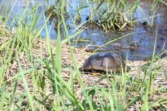 Blandings Turtle (Emydoidea blandingii) Royalty Free Stock Photos