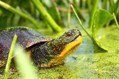 Blandings Turtle (Emydoidea blandingii). A Threatened Blandings Turtle (Emydoidea blandingii) surveys the marsh in northern Illinois Stock Image