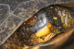 Blandings Turtle (Emydoidea blandingii) Royalty Free Stock Image