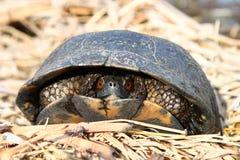 Blandings Turtle (Emydoidea blandingii) Royalty Free Stock Photo