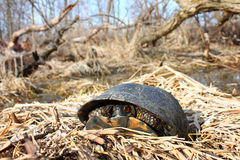 Blandings Turtle (Emydoidea blandingii) Stock Images