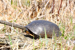 Blandings Turtle (Emydoidea blandingii) Stock Photography