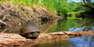 Blandings Turtle Illinois Stream Royalty Free Stock Images