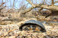 Blandings Turtle Midwest USA Royalty Free Stock Photography