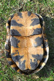 Blandings Turtle Plastron Royalty Free Stock Photo