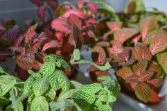 Blandning av fittoniaväxter Royaltyfri Bild