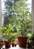 Blandning av houseplants på fönstret Arkivfoton
