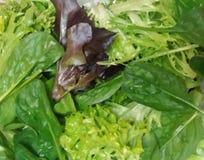 Blandning av ny organisk gräsplan och röda grönsallatsidor Royaltyfri Foto