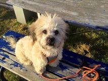 Blandningavelhund Fotografering för Bildbyråer