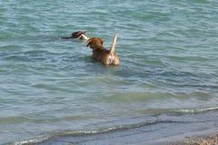 Blandningen för tjuren för gropen för beagleblandningen hämtar den hållande ögonen på leksaken i vatten Arkivfoto