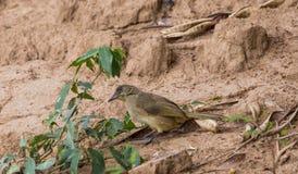 Blanfordi de Pycnonotus en la tierra en naturaleza foto de archivo libre de regalías